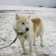 White sled dog — Stock Photo