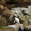 Two puffins in love — Stock Photo