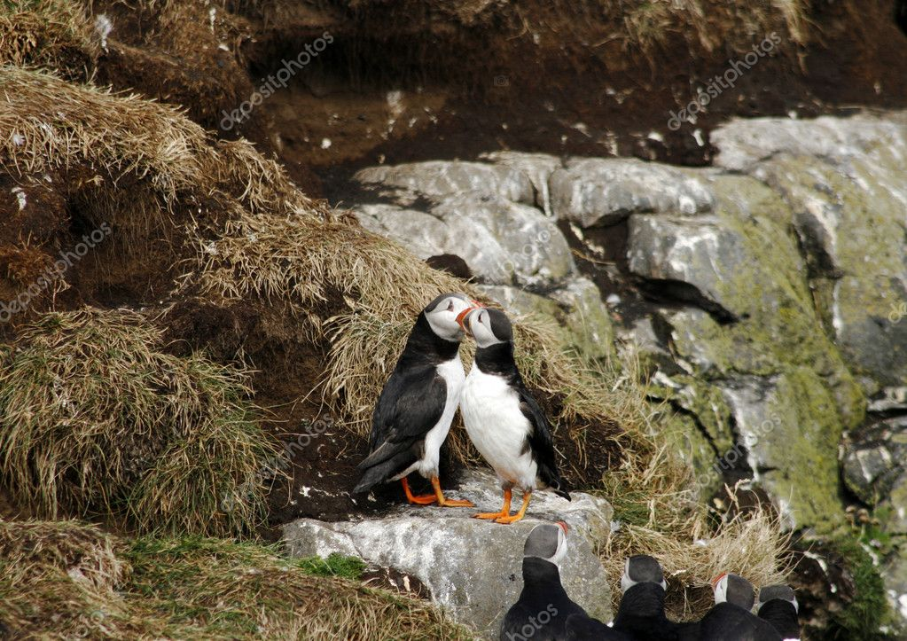 Two puffins in love while others are watching — Stock Photo #9143656