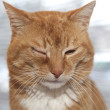 Red cat with irritated eye — Stock Photo