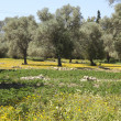 Stockfoto: Olive trees and excavations in Crete