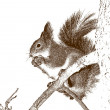 Stock Photo: Drawing of the squirrel.