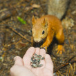 The squirrel eats from a hand - Foto Stock