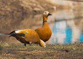 Pair of red ducks. — Stock Photo