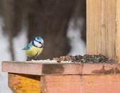 Titmouse 蓝雀. — 图库照片