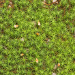 "Moss ""cuckoo flax"". - Stock Photo"
