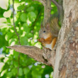 Squirrel — Stock Photo #8458439