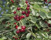 Cherry — Foto de Stock