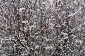Snow-covered branches of bushes. — Stock Photo