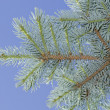 Blue spruce branch. — Stock Photo