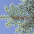 Stock Photo: Blue spruce branch.