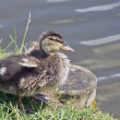 Stock Photo: Duckling ashore
