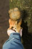 The tamed squirrel eats from hands — Stock Photo