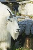 Snow goat — Stock Photo