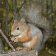 The squirrel — Stock Photo #8626319