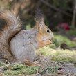 The squirrel — Stock Photo