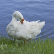 Stock Photo: Goose ashore