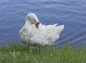 Goose ashore — Stock Photo