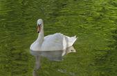 White swan. — Stock Photo