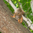 Squirrel — Foto de stock #8888822