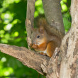 Squirrel — Stock fotografie #8888846