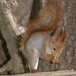 The squirrel — Stockfoto