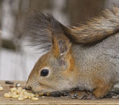 The squirrel, a close up, nuts — Stock Photo