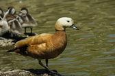 鸭、 tadorna ferruginea — 图库照片