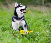 Siberian husky puppy — Stock Photo