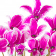 Cyclamen — Stock Photo #8834905
