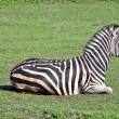 Zebra on grass - 图库照片