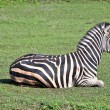 Zebra on grass - Stock Photo