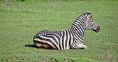 зебра на траве — Стоковое фото