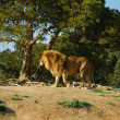 Lion (Panthera leo) - Photo
