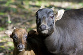 Lowland anoas or dwarf buffalos (Bubalus depressicornis) — Stock Photo