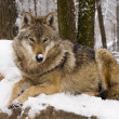 European gray wolf (Canis lupus) — Stock Photo #8590485