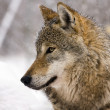 European gray wolf (Canis lupus) - Stock Photo