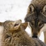 European gray wolf (Canis lupus) — Stock Photo #8590604