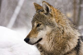 European gray wolf (Canis lupus) — Stock Photo