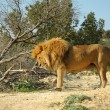 Male lion (Panthera leo) - Stock Photo