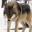 Stock Photo: Europegrey wolf (Canis lupus)