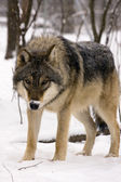 European grey wolf (Canis lupus) — Stock Photo