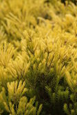 Edges of Green Leaves from a Pine Tree Forming Decorations — ストック写真