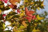 Red Yellow Orange Green Maple Leaves in the Start of Autumn Seas — Stock Photo