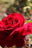 Blooming Red Roses — Stock Photo