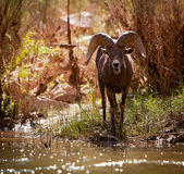 Big Horn Sheep Along the River Bed — Stock Photo