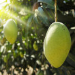 Mango tree — Stock Photo #8475642