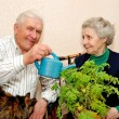 Elderly couple pour to water indoor plant - Stock Photo