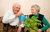 Bejaarde echtpaar giet water binnen plant — Stockfoto