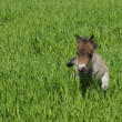 Foal pony run on green grass - Stock Photo